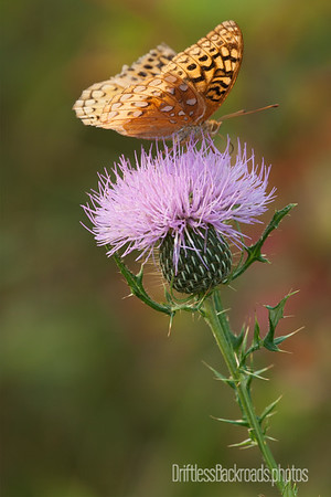 Fritillary on Thistle