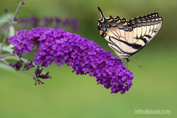 Swallowtail on Butterfly Bush