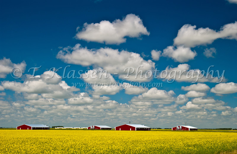 Red hog barns and blooming yellow canola field near Niverville, Manitoba, Canada.