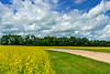 A blooming yellow canola field near Winkler, Manitoba, Canada.
