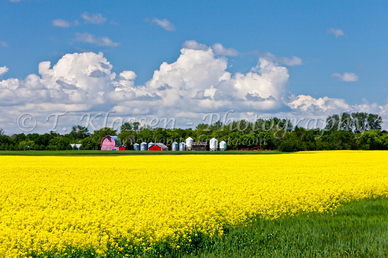 A bright yellow canola field with red farm buildings near Winkler, Manitoba, Canada.