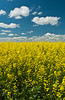 Yellow blooming canola field in southern Manitoba, Canada.