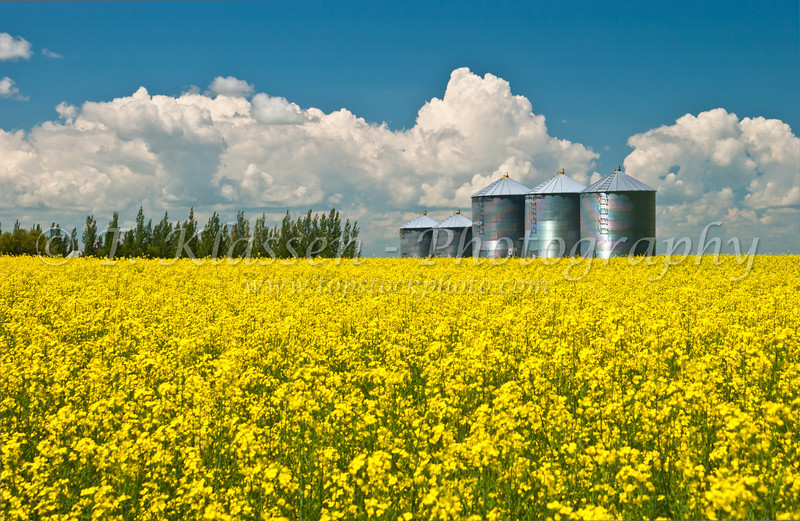 Grain storage bins and yellow blooming canola field in southern Manitoba, Canada.
