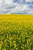 Yellow canola field blooming near Roseisle, Manitoba Canada.