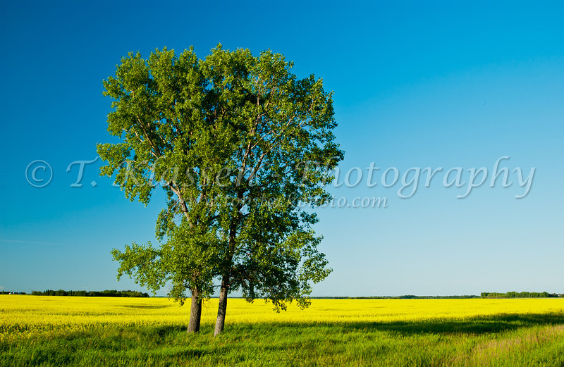 Blooming yellow canola field with trees near Morris, Manitoba, Canada.