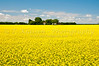 Canola field in bloom near Winkler, Manitoba, Canada.