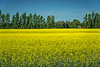 A yellow blooming canola field near Winkler Manitoba, Canada.