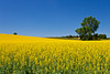 A yellow blooming canola field near Morden, Manitoba, Canada.