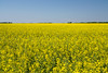 A prairie landscape of a yellow blooming canola field near Winkler, Manitoba, Canada.