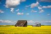An old barn and grain bins in a canola field near Roland, Manitoba, Canada.