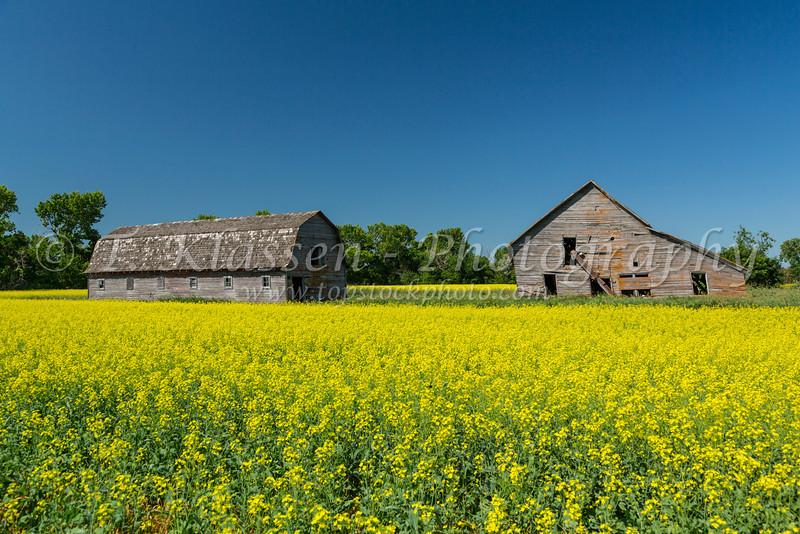 An old barn in a yellow canola field near Blumenfeld, Manitoba, Canada.