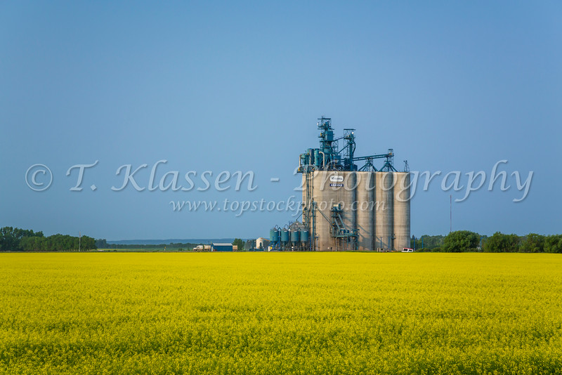 The Viterra Agassiz inland grain terminal with a yellow blooming canola field near Winkler, Manitoba, Canada.