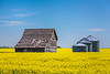 An old barn and grain bins in a canola field near Roland, Manitoba, Canada.