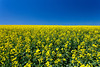 A yellow blooming canola field in southern Manitoba, Canada.