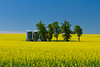 Grain storage bins and a field of yellow blooming canola near Morden, Manitoba, Canada.