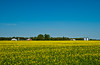 Blooming yellow canola field near Winkler, Manitoba, Canada.