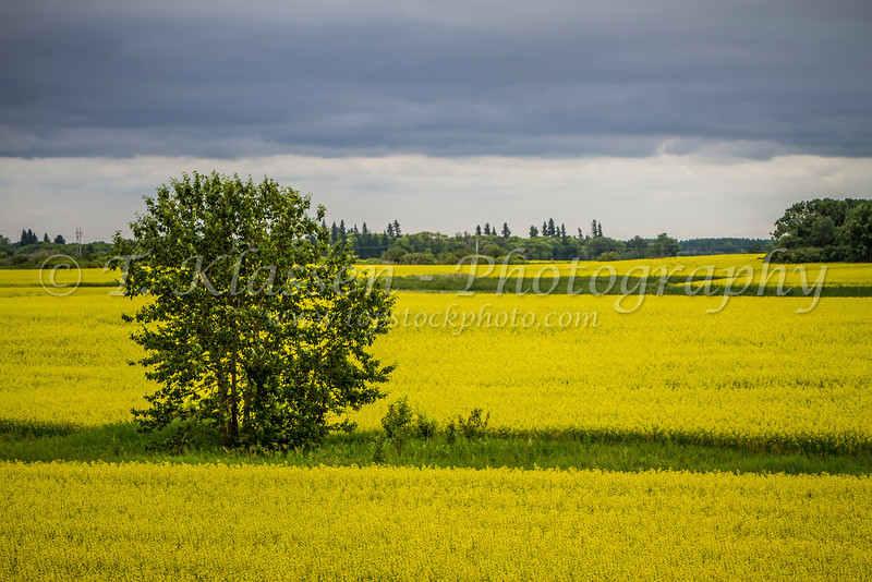 A blooming yellow canola field near Carberry, Manitoba, Canada.