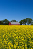 A red barn and yellow blooming canola field near Roland, Manitoba, Canada.