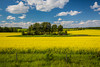 A priaire canola field in bloom near Grandview, Manitoba, Canada.