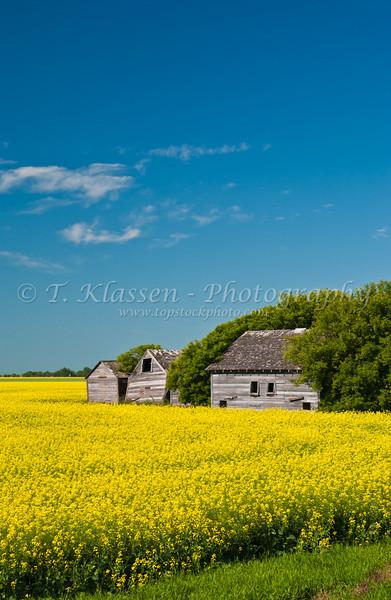Yellow canola field with old farm buildings near La Salle, Manitoba, Canada.