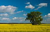 A lone tree with a canola field near Morris, Manitoba, Canada.