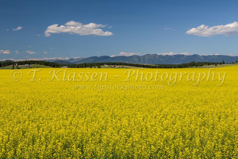 A yellow blooming canola field near Kalispell, Montana, USA.