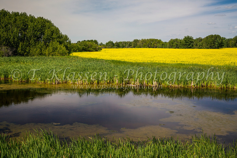 A prairie marsh and blooming yellow canola field near Onanol, Manitoba, Canada.