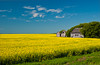 Yellow canola field with old farm buildings near La Salle, Manitoba, Canada.