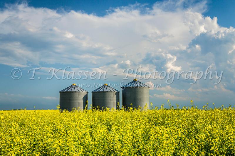 Farm grain storage bins in a blooming yellow canola field near Baldur, Manitoba, Canada.