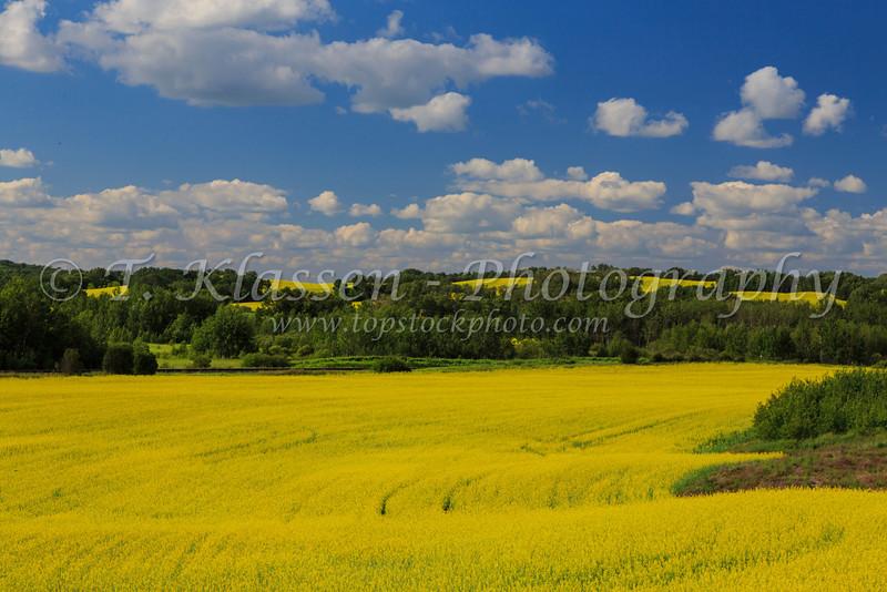 A priaire canola field in bloom near Grandview, Manitoba, Canada.