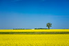A blooming yellow canola field near Roland, Manitoba, Canada.