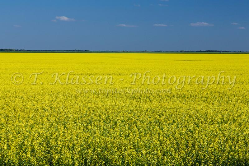 Yellow canola field near Myrtle, Manitoba, Canada.