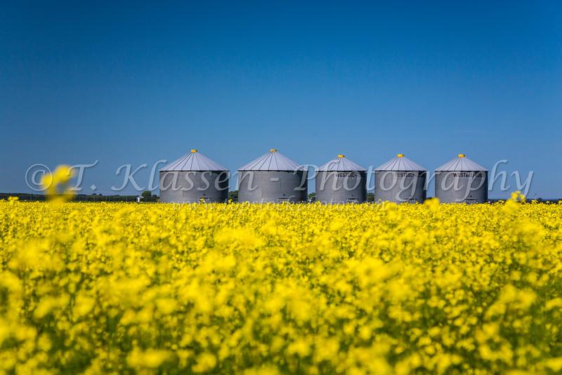 Prairie grain bins in a blooming canola field near Roland, Manitoba, Canada.