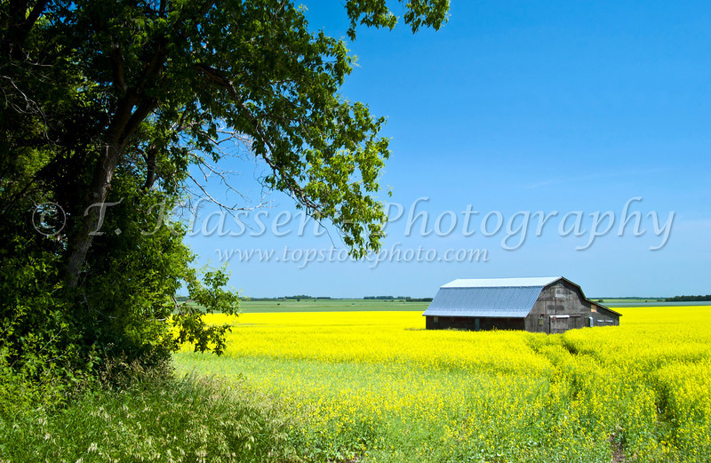 Canola rapeseed grain in bloom with farm barn near Holland, Manitoba, Canada.