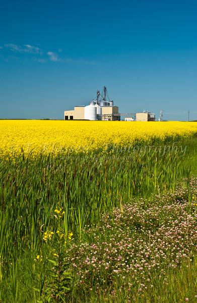 Blooming yellow canola field near St. Agathe, Manitoba, Canada.