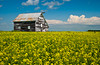 An old barn with yellow blooming canola field near Rosenfeld, Manitoba, Canada.