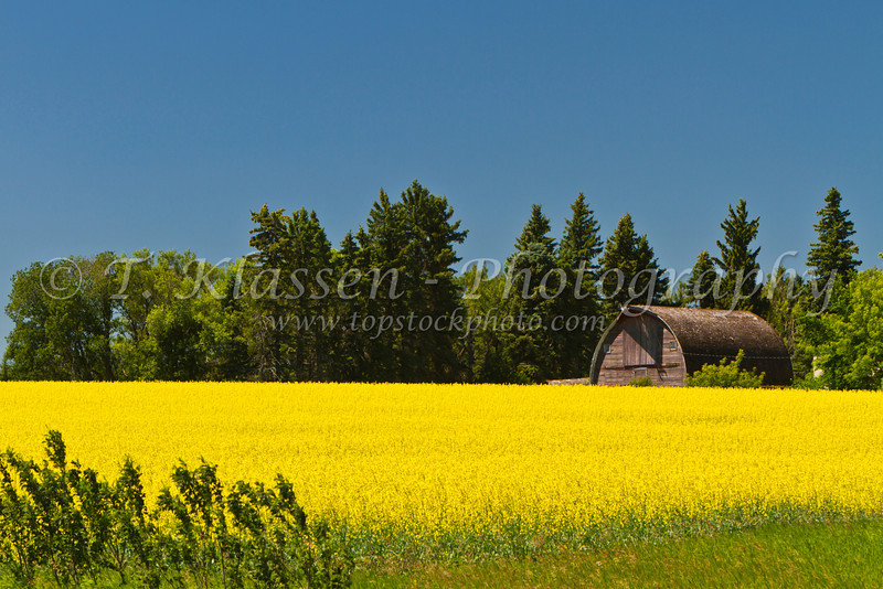 An old barn and a yellow blooming canola field in southern Manitoba, Canada.