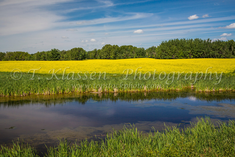 A prairie marsh and blooming yellow canola field near Onanol, Manitoba, Canada.