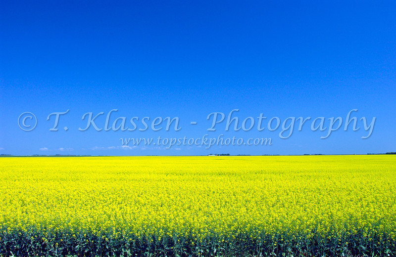 Yellow canola field landscape on the prairies of southern Manitoba Canada.