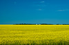 Blooming yellow canola field near St. Agathe, Manitoba, Canada.