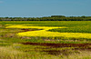 A canola field pattern near Morris, Manitoba, Canada.
