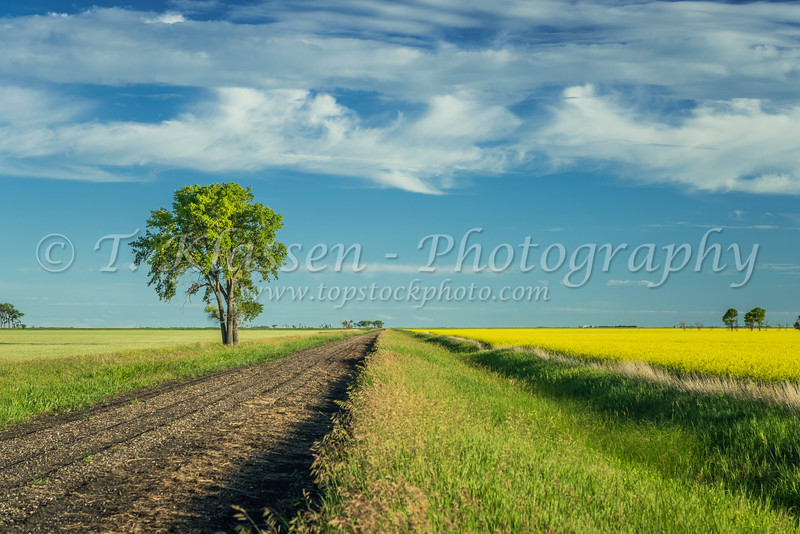 A rural road with canola and grain field near Sperling, Manitoba, Canada.