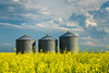 Farm grain storage bins in a blooming yellow canola field near Baldur, Manitoba, Canada.