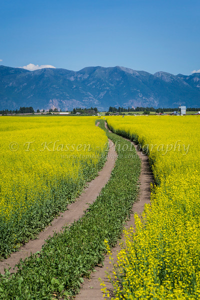 A curved farm track through a yellow blooming canola field near Kalispell, Montana, USA.