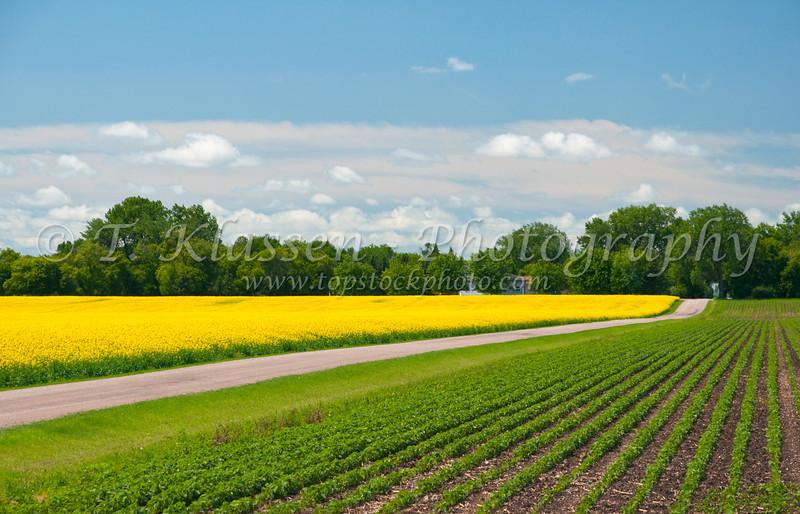 Canola field in bloom near Winkler, Manitoba, Canada.