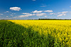 A bright yellow canola field blooming in southern Manitoba near Winkler.