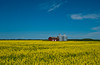 Yellow canola field with grain storage bins in rural southern, Manitoba, Canada.