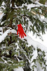 Tagging a Christmas Tree So You Can Find It Again, Dane County, Wisconsin