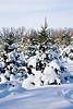 Rows of Christmas Trees, Summers Christmas Tree Farm, Dane County, Wisconsin