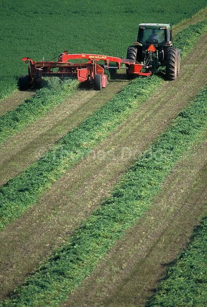 Cutting hay, Truman, MN.